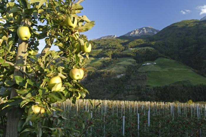 comune_di_malles_coltivazione_di_mele